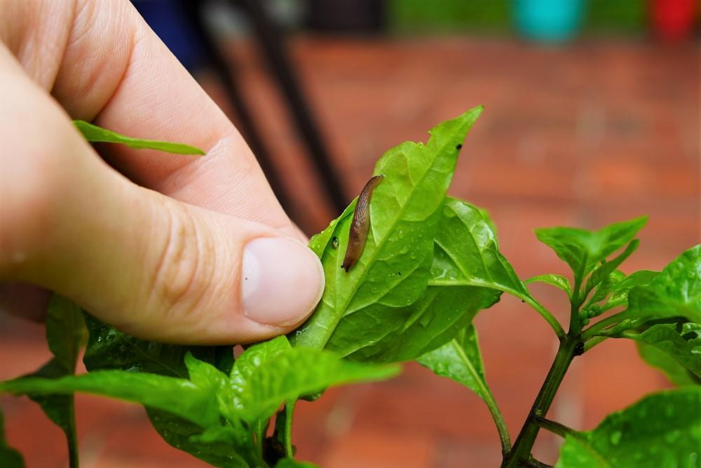 Slug on pepper leaf