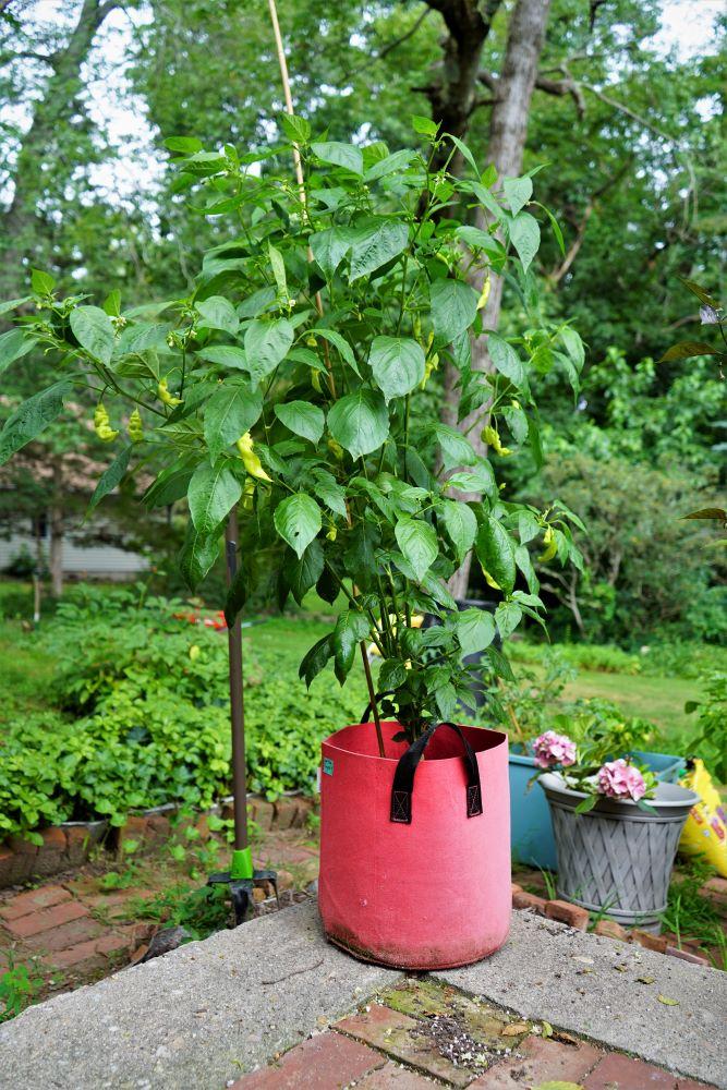 Sugar rush stripey plant in pot